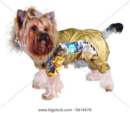 Dog in purple suit isolated on white poster