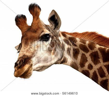 Funny Giraffe Portrait