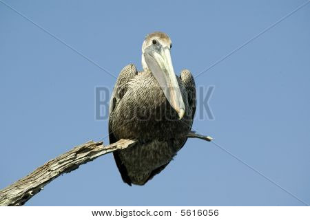 Big Pelican Sitting on a Small Branch