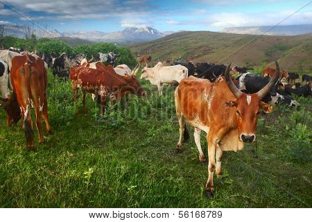 Zebu cattles on a green meadow at sunny morning. Madagascar