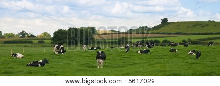 Cattle Panorama