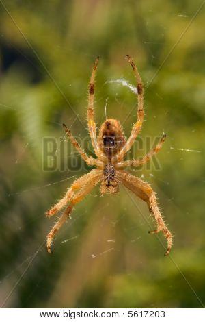 Spider, Araneus pallidus