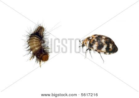 Carpet Beetle and Woolly Bear