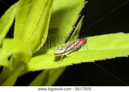 Redbanded Leafhopper