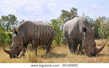 African black rhinoceroses (Diceros bicornis minor) on the Masai Mara National Reserve safari in southwestern Kenya.