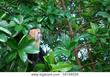 White faced capuchin monkey on a tree