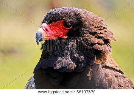 The Bateleur (Terathopius ecaudatus) Eagle