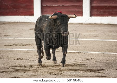 Bull about 650 Kg galloping in the sand right when I just got out of the bullpen in the Linares bull