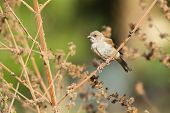 A juvenile Grey-headed Sparrow (Passer griseus) perched on a dried stalk poster