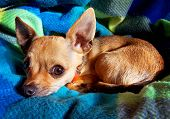 a close up of a chihuahua on a blanket poster