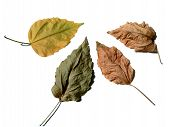 four leaves on white background poster