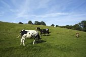 five cows of different breeds grazing on meadow poster