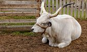 Ruminant Hungarian gray cattle bull in the corral poster