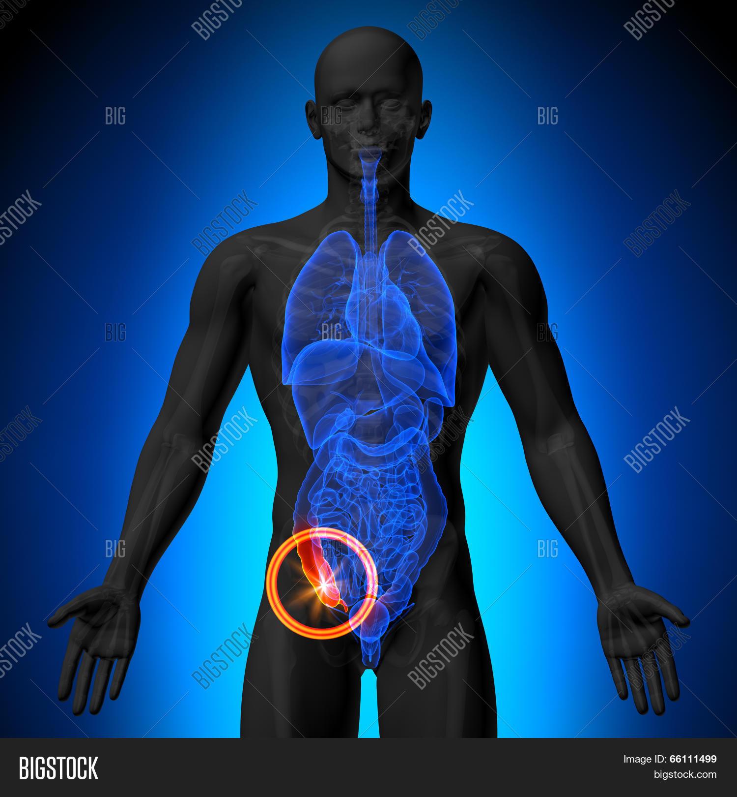 Appendix - Male Anatomy Human Image & Photo | Bigstock