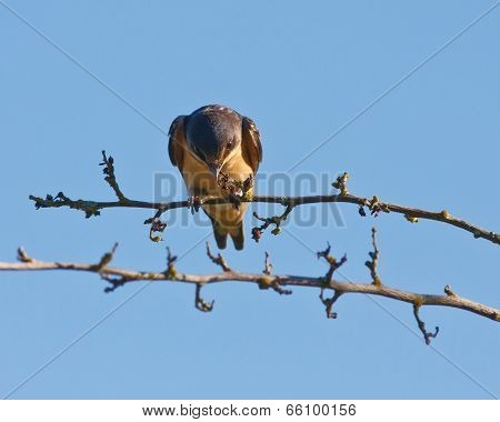 Swallow perched on a branch with head down and giving a stare. poster