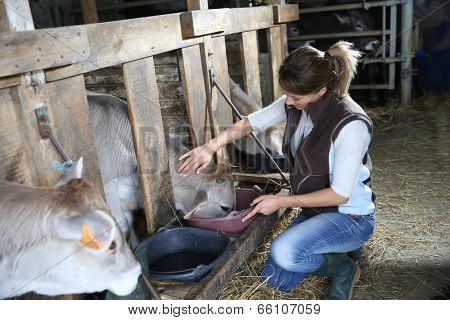 Woman breeder feeding cows in barn
