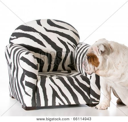 concept of dog being allowed on furniture - english bulldog poster