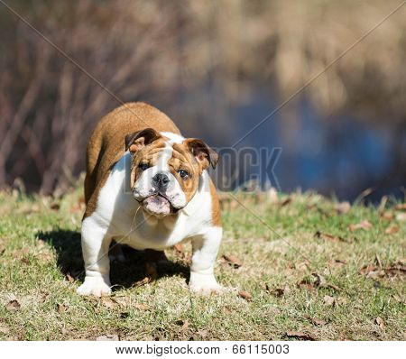 cute english bulldog puppy playing outside in the grass poster