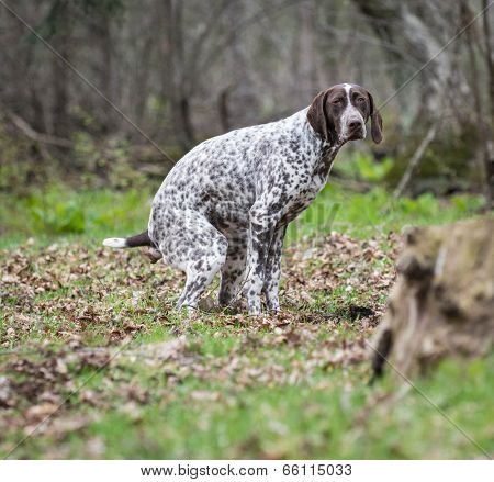 german shorthaired pointer having a poop in the woods
