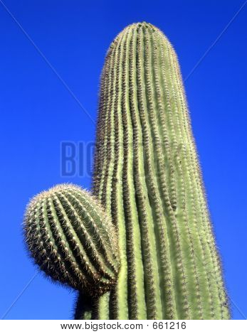 SaguaroCactus#3