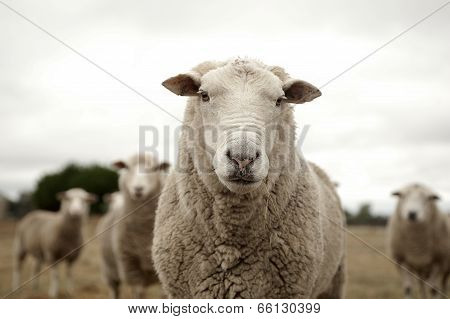 Sheep with the crowd
