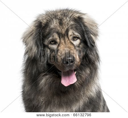 Leonberger (2 years old)