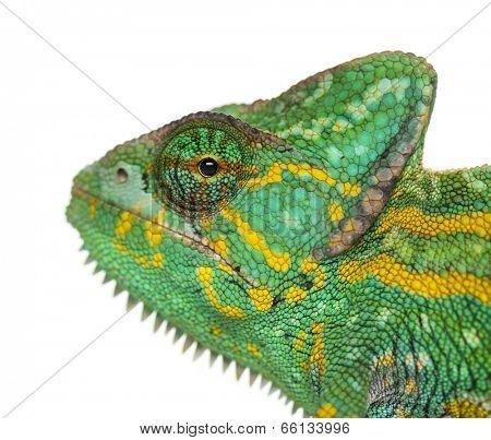 Headshot of a Yemen chameleon - Chamaeleo calyptratus - isolated on white
