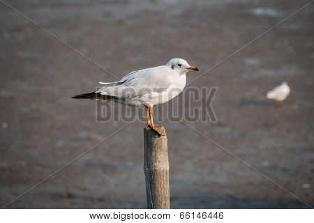 Seagull Standing On A Timber