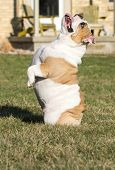 dog begging - english bulldog sitting up on bum begging poster