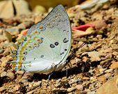 Beautiful light Green Jewelled Nawab Butterfly in nature environment with sharp details poster