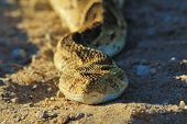 An adult Puff Adder sunbathing, as photographed in the wilds and wilderness of Africa.  A deadly and poisonous snake. poster