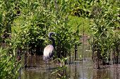 Tricolored or Louisiana Heron in the bayou poster