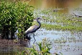 Tricolored or Louisiana Heron in the bayou. poster