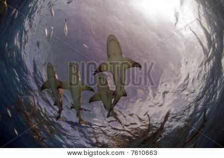 Sharks Of Tiger Beach