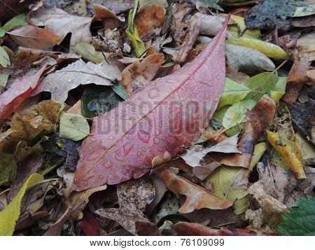 Leaf Of Wahoo