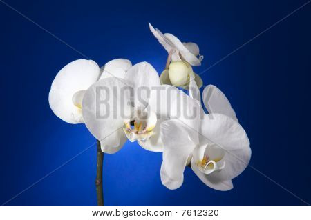 White Orchid on blue