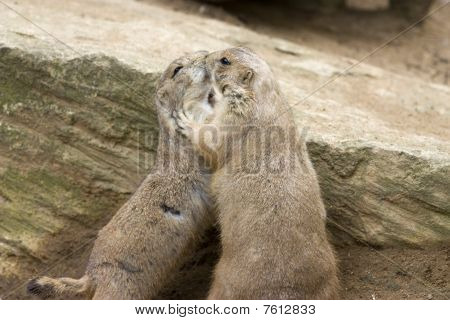 Cute Prarie Dog