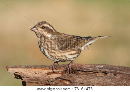 Purple Finch (carpodacus Purpureus)