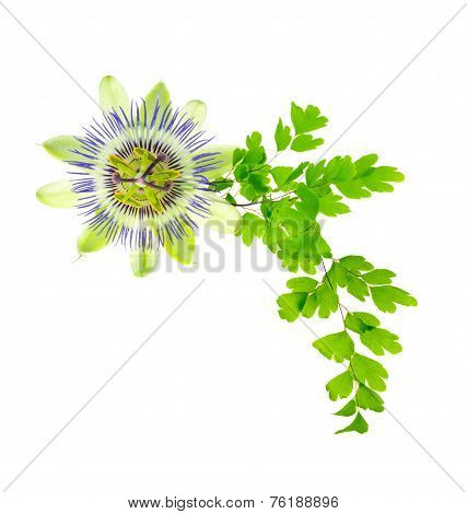 Passion Flower And Young Green Fern Branch Isolated On White Background, Closeup