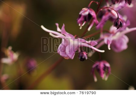 Longspur Barrenwort, Epimedium Grandiflorum