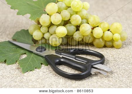 Bunch Of Ripe Grapes And Scissors
