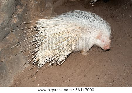 Albino Cape porcupine. Albinism in animals is considered to be a hereditary condition characterised by the absence of pigment in the eyes skin hair scales feathers or cuticles poster