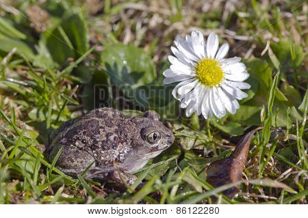 Garlic Frog (pelobates Fuscus) Toad On Spring Grass And Flower
