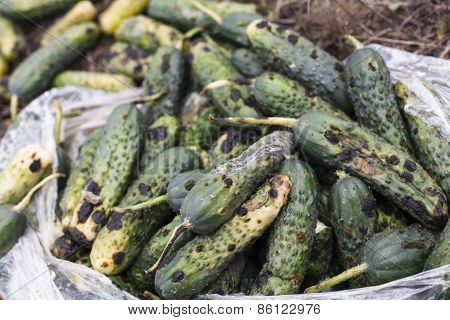 Piles of rotten cucumbers on the landfill. Close up. poster