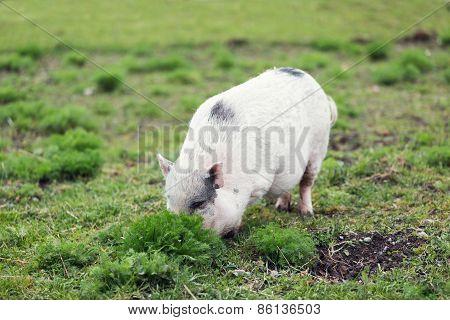 Hiding Pig