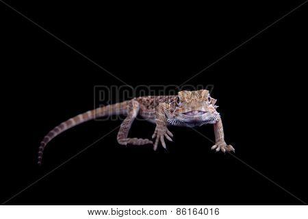 Small Bearded Dragon Isolated On Black