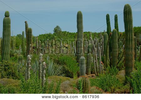 Many Cactuses On The Cactus Plantation