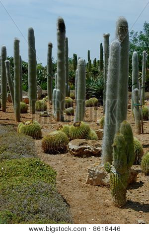 Various Cactuses On The Plantation