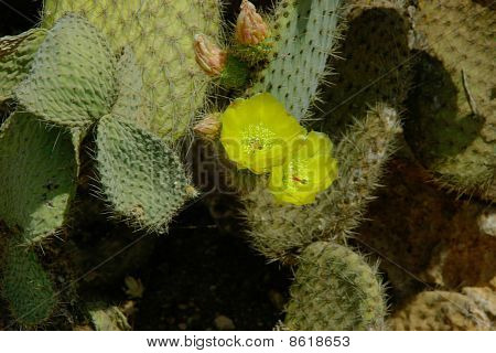 Yellow Flowers On The Cactus Leaf.