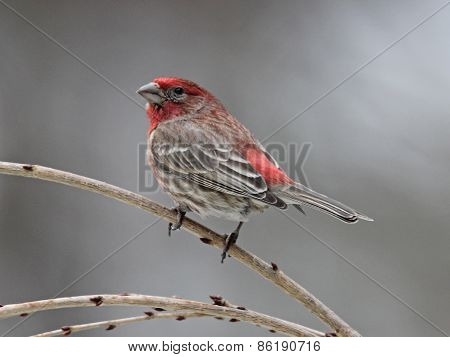 Winter Finch